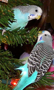budgie parrot familly